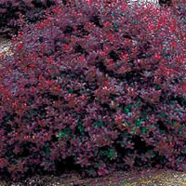 Berberis Thunbergii Atropurpurea Crimson Pygmy Shrubs - Berberis thun...